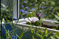Flower of osteospermum or african daisy in small urban garden on the balcony. Home greening Stock Photo