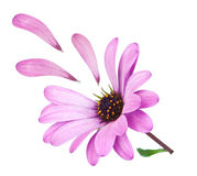 Flower osteospermum with fallen petals purple. Stock Image