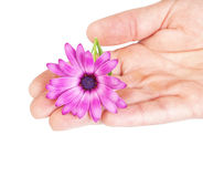 Flower osteospermum on hand as a gift . royalty free stock image