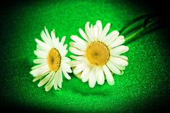 Flower ox-eye daisy on background. Photo in sepia old style stock photography
