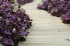 Flower Oxalis triangularis (Purple shamrock) Stock Images