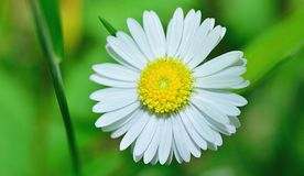 Flower, Oxeye Daisy, Chamaemelum Nobile, Daisy Family Stock Photo