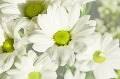 Flower, Oxeye Daisy, Chamaemelum Nobile, Flora royalty free stock photo