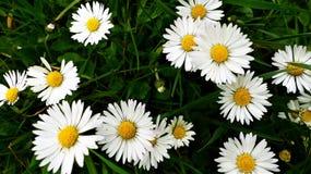 Flower, Oxeye Daisy, Daisy, Daisy Family Royalty Free Stock Image