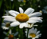 Flower, Oxeye Daisy, Flora, Chamaemelum Nobile stock photography