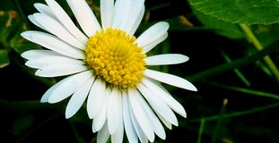 Flower, Oxeye Daisy, Flora, Daisy royalty free stock photo