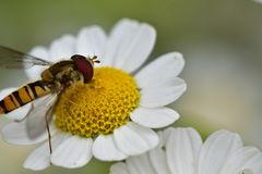 Flower, Oxeye Daisy, Insect, Macro Photography royalty free stock photo