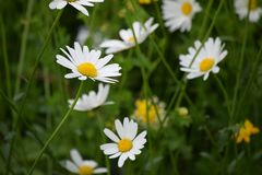 Flower, Oxeye Daisy, Meadow, Flora Royalty Free Stock Images