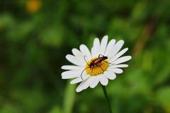 Flower, Oxeye Daisy, Nectar, Flora stock photos