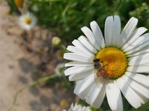 Flower, Oxeye Daisy, Pollen, Nectar stock photo