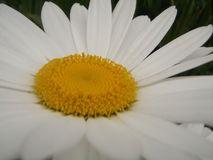 Flower, Oxeye Daisy, Yellow, Flora stock photo