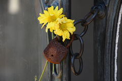 Flower and padlock. Yellow flowers and a padlock forgotten by time Royalty Free Stock Photography