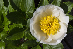 Flower - Paeonia Lactiflora - Chinese Peony Royalty Free Stock Images