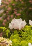 Flower Paeonia suffruticosa. Blossoms white Paeonia suffruticosa variety Anastasia Sosnowiec on a blurred green background Stock Photos