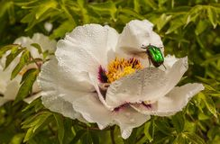 Flower Paeonia suffruticosa with drops of dew and Cetonia aurata. Blossoms white Paeonia suffruticosa variety Anastasia Sosnowiec with drops of dew and Cetonia Stock Images