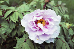 Flower Paeonia suffruticosa. Paeonia suffruticosa flower in the garden Stock Photography