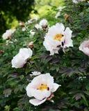 Flower Paeonia suffruticosa. Paeonia suffruticosa flower in the garden Royalty Free Stock Images