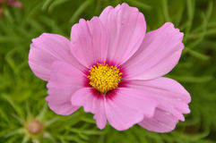 Pink Cosmos Flower and Greenery in Background Stock Photos