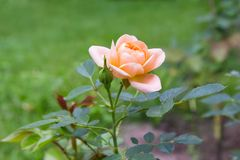 Flower pale pink rose on a background of green lawn. Flower of pale pink rose on blurred background of green grass lawn stock photography