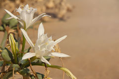 Flower of Pancratium maritimum Stock Image