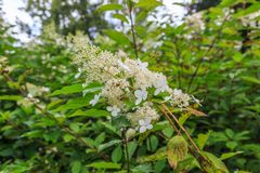 Flower of panicled hydrangea, Hydrangea paniculata Phantom. Against a green background of blurry green leaves Royalty Free Stock Photos