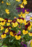 Flower pansies. Love and Tenderness concept Royalty Free Stock Photography