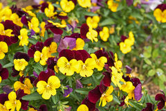 Flower pansies. Love and Tenderness concept Stock Photography
