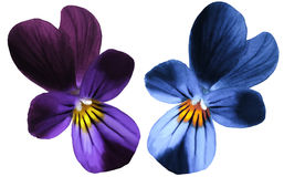 Flower  pansy bloom on a white isolated background with clipping path.  Closeup no shadows. Royalty Free Stock Photos