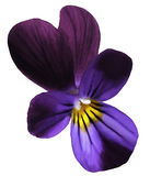 Flower  pansy bloom on a white isolated background with clipping path.  Closeup no shadows. Stock Images