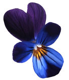 Flower  pansy bloom on a white isolated background with clipping path.  Closeup no shadows. Royalty Free Stock Images