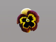 Flower pansy. On grey background Stock Photos