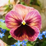 Flower of pansy Royalty Free Stock Photography