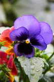 A flower of a pansy a three-color violet growing in the garden. The photo was taken immediately after the rain. A flower of a pansy a three-color violet growing stock photos