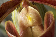 Flower of Paphiopedilum 'king arthur alex' Royalty Free Stock Photography