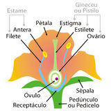 Flower parts. Art illustration: the parts of a flower, in portuguese Stock Photo