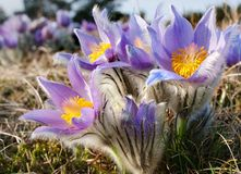 Flower of pasqueflower Stock Images