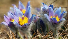 Flower of pasqueflower Royalty Free Stock Photos