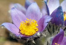 Flower of pasqueflower Royalty Free Stock Photography