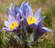 Flower of pasqueflower Royalty Free Stock Images