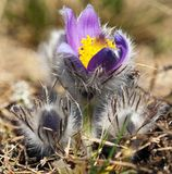 Flower of pasqueflower Stock Image