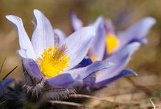 Flower of pasqueflower Stock Photography
