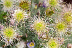 Flower of the pasqueflower Royalty Free Stock Image