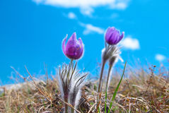 Flower Pasqueflower (Pulsatilla Stock Photo