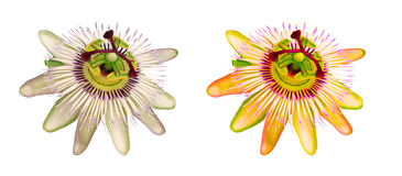 Flower Passiflora Stock Images