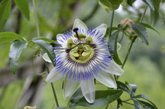Flower Passiflora Stock Photos