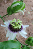 Flower of passion fruit Stock Images