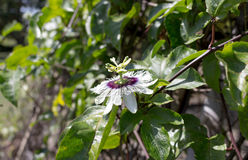 Flower. Passion fruit flower and green leaf stock photos