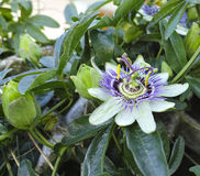Flower of passion fruit Royalty Free Stock Image