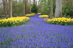 Flower path. One of the flower field of Keukenhof tulip exhibition royalty free stock images