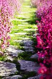 Flower Path Royalty Free Stock Image